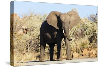 African elephant , Mapungubwe Nat'l Park, UNESCO World Heritage Site, Limpopo, South Africa, Africa-Christian Kober-Stretched Canvas Print
