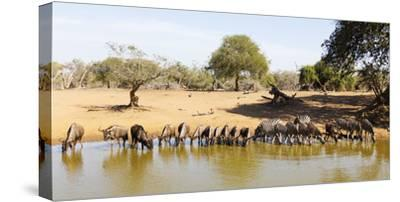 Blue wildebeest and Plains zebra , Mkhuze Game Reserve, Kwazulu-Natal, South Africa, Africa-Christian Kober-Stretched Canvas Print