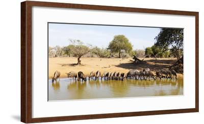 Blue wildebeest and Plains zebra , Mkhuze Game Reserve, Kwazulu-Natal, South Africa, Africa-Christian Kober-Framed Photographic Print