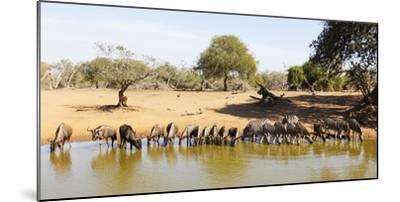 Blue wildebeest and Plains zebra , Mkhuze Game Reserve, Kwazulu-Natal, South Africa, Africa-Christian Kober-Mounted Photographic Print