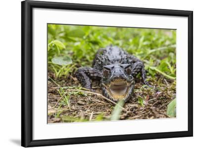 A captive Schneider's smooth-fronted caiman , San Francisco Village, Loreto, Peru-Michael Nolan-Framed Photographic Print