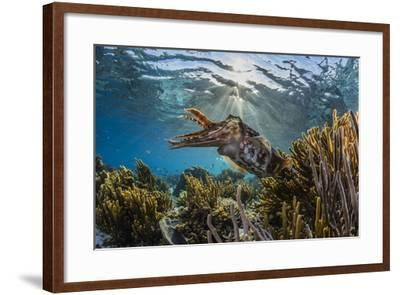 Adult broadclub cuttlefish on the reef at Sebayur Island, Flores Sea, Indonesia, Southeast Asia-Michael Nolan-Framed Photographic Print