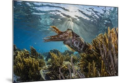 Adult broadclub cuttlefish on the reef at Sebayur Island, Flores Sea, Indonesia, Southeast Asia-Michael Nolan-Mounted Photographic Print