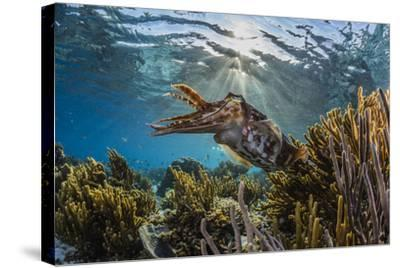 Adult broadclub cuttlefish on the reef at Sebayur Island, Flores Sea, Indonesia, Southeast Asia-Michael Nolan-Stretched Canvas Print