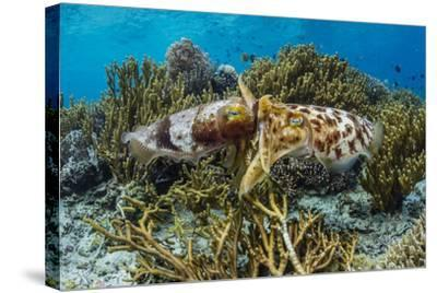 Adult broadclub cuttlefish mating on Sebayur Island, Flores Sea, Indonesia, Southeast Asia-Michael Nolan-Stretched Canvas Print