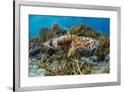Adult broadclub cuttlefish mating on Sebayur Island, Flores Sea, Indonesia, Southeast Asia-Michael Nolan-Framed Photographic Print