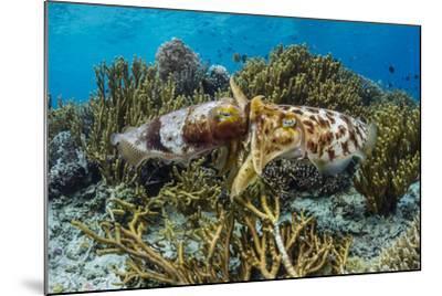 Adult broadclub cuttlefish mating on Sebayur Island, Flores Sea, Indonesia, Southeast Asia-Michael Nolan-Mounted Photographic Print