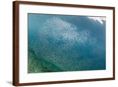 A profusion of baitfish underwater on Sebayur Island, Komodo Nat'l Park, Flores Sea, Indonesia-Michael Nolan-Framed Photographic Print