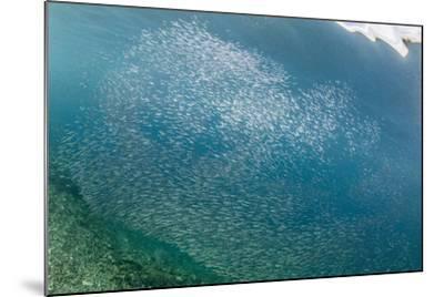 A profusion of baitfish underwater on Sebayur Island, Komodo Nat'l Park, Flores Sea, Indonesia-Michael Nolan-Mounted Photographic Print