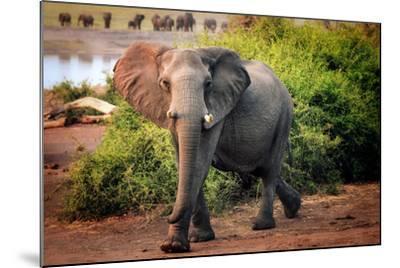 African elephant, Chobe National Park, Botswana, Africa-Karen Deakin-Mounted Photographic Print