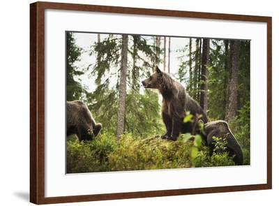 Brown Bear (Ursus Arctos), Finland, Scandinavia, Europe-Janette Hill-Framed Photographic Print