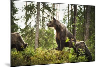 Brown Bear (Ursus Arctos), Finland, Scandinavia, Europe-Janette Hill-Mounted Photographic Print