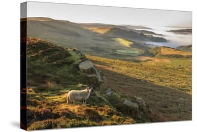 Sheep, valley with temperature inversion fog, Stanage Edge, Peak District Nat'l Park, England-Eleanor Scriven-Stretched Canvas Print