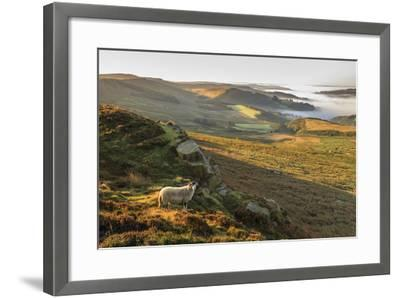 Sheep, valley with temperature inversion fog, Stanage Edge, Peak District Nat'l Park, England-Eleanor Scriven-Framed Photographic Print