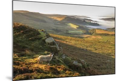 Sheep, valley with temperature inversion fog, Stanage Edge, Peak District Nat'l Park, England-Eleanor Scriven-Mounted Photographic Print