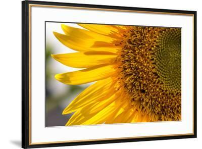 Europe, Italy. Sunflower in a garden-Catherina Unger-Framed Photographic Print