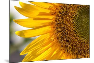 Europe, Italy. Sunflower in a garden-Catherina Unger-Mounted Photographic Print
