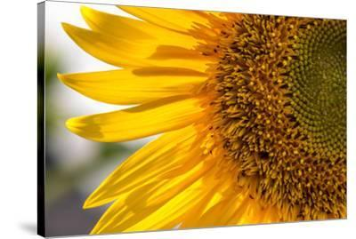 Europe, Italy. Sunflower in a garden-Catherina Unger-Stretched Canvas Print