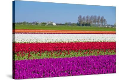 Netherlands, North Holland, Venhuizen. Colorful tulip fields in early spring.-Jason Langley-Stretched Canvas Print