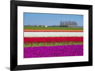 Netherlands, North Holland, Venhuizen. Colorful tulip fields in early spring.-Jason Langley-Framed Photographic Print