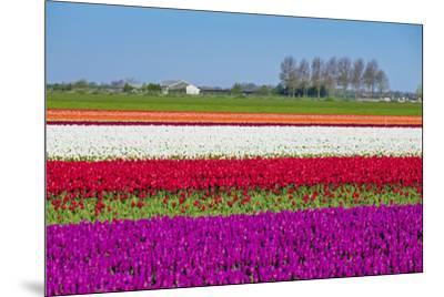 Netherlands, North Holland, Venhuizen. Colorful tulip fields in early spring.-Jason Langley-Mounted Photographic Print