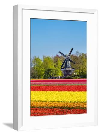 Netherlands, South Holland, Lisse. Dutch tulips flowers in a field in front of the Keukenhof windmi-Jason Langley-Framed Photographic Print
