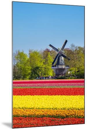 Netherlands, South Holland, Lisse. Dutch tulips flowers in a field in front of the Keukenhof windmi-Jason Langley-Mounted Photographic Print
