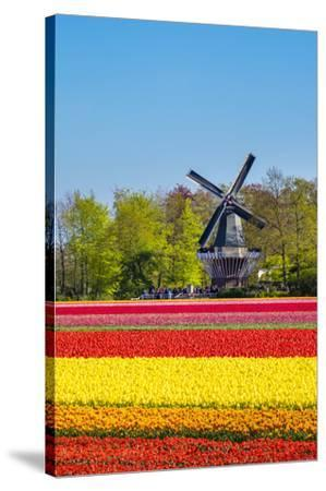 Netherlands, South Holland, Lisse. Dutch tulips flowers in a field in front of the Keukenhof windmi-Jason Langley-Stretched Canvas Print