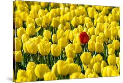 Netherlands, South Holland, Nordwijkerhout. A single red tulip flower in a field of yellow tulips.-Jason Langley-Stretched Canvas Print