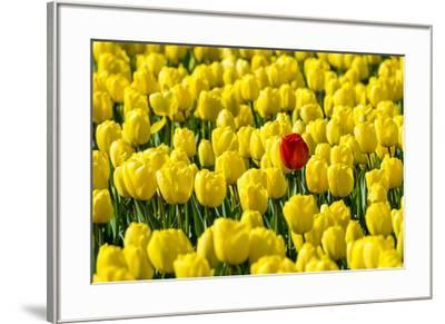 Netherlands, South Holland, Nordwijkerhout. A single red tulip flower in a field of yellow tulips.-Jason Langley-Framed Photographic Print