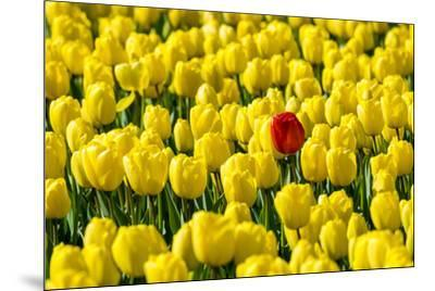 Netherlands, South Holland, Nordwijkerhout. A single red tulip flower in a field of yellow tulips.-Jason Langley-Mounted Photographic Print