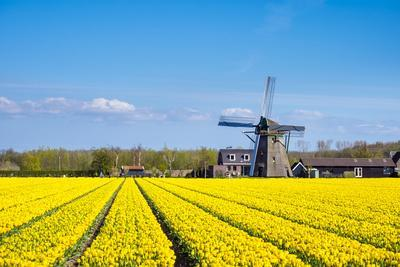 Netherlands, South Holland, Nordwijkerhout. Yellow Dutch tulip filed, tulips in front of a windmill-Jason Langley-Framed Photographic Print