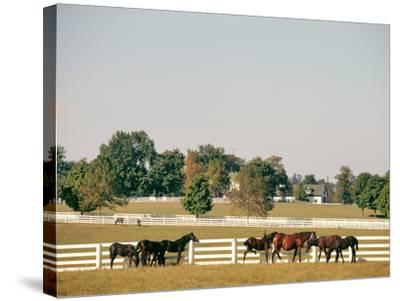 1990s Small Group of Horses Beside White Pasture Fence Late in Summer--Stretched Canvas Print