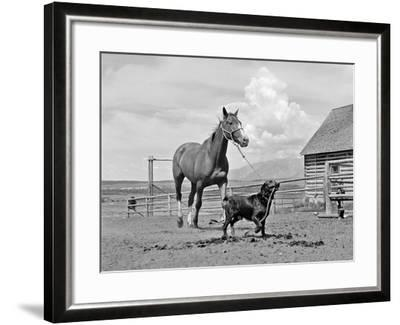 1950s-1960s Black Dog Leading Horse by Holding Rope Halter in His Mouth--Framed Photographic Print