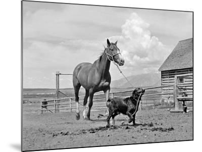 1950s-1960s Black Dog Leading Horse by Holding Rope Halter in His Mouth--Mounted Photographic Print