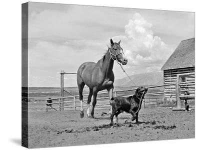 1950s-1960s Black Dog Leading Horse by Holding Rope Halter in His Mouth--Stretched Canvas Print