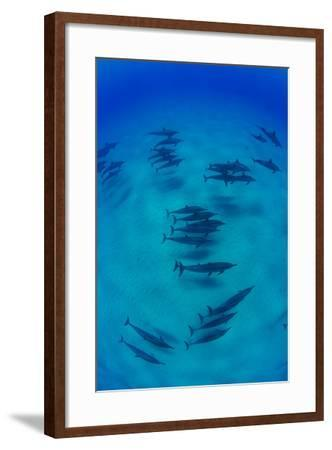 Elevated View of School of Dolphins Swimming in Pacific Ocean, Hawaii, USA--Framed Photographic Print
