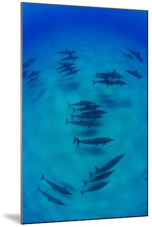 Elevated View of School of Dolphins Swimming in Pacific Ocean, Hawaii, USA--Mounted Photographic Print