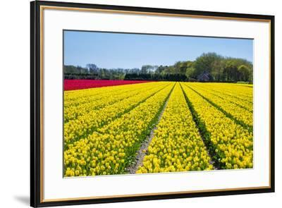 Dutch tulips in bloom in a bulb field in early spring., Nordwijkerhout, South Holland, Netherlands,-Jason Langley-Framed Photographic Print