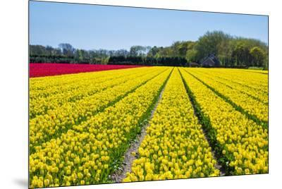 Dutch tulips in bloom in a bulb field in early spring., Nordwijkerhout, South Holland, Netherlands,-Jason Langley-Mounted Photographic Print