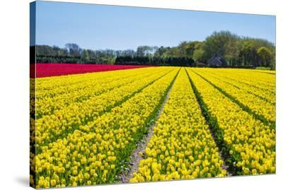 Dutch tulips in bloom in a bulb field in early spring., Nordwijkerhout, South Holland, Netherlands,-Jason Langley-Stretched Canvas Print