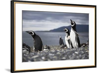 A Magellanic penguin shaking water off its feathers after a swim, Martillo Island, Argentina, South-Fernando Carniel Machado-Framed Photographic Print