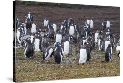 Magellanic penguin (Spheniscus magellanicus) colony, Carcass Island, West Falklands, Falkland Islan-Michael Runkel-Stretched Canvas Print