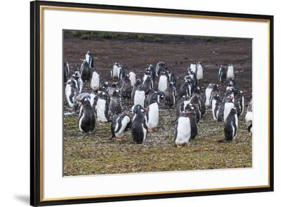 Magellanic penguin (Spheniscus magellanicus) colony, Carcass Island, West Falklands, Falkland Islan-Michael Runkel-Framed Photographic Print