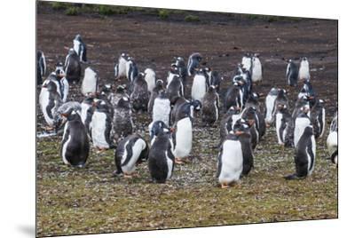 Magellanic penguin (Spheniscus magellanicus) colony, Carcass Island, West Falklands, Falkland Islan-Michael Runkel-Mounted Photographic Print
