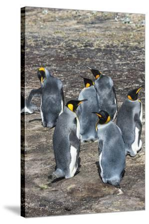 King penguin colony (Aptenodytes patagonicus), Saunders Island, Falklands, South America-Michael Runkel-Stretched Canvas Print