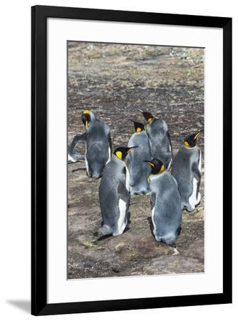 King penguin colony (Aptenodytes patagonicus), Saunders Island, Falklands, South America-Michael Runkel-Framed Photographic Print