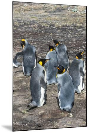 King penguin colony (Aptenodytes patagonicus), Saunders Island, Falklands, South America-Michael Runkel-Mounted Photographic Print