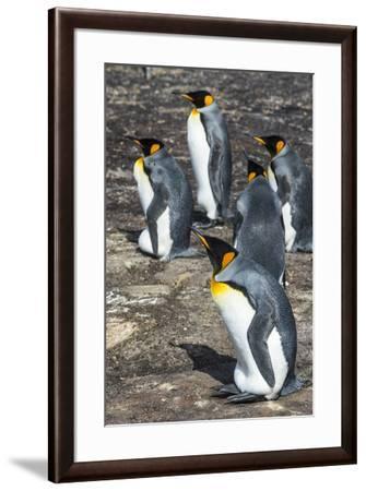 King penguin colony (Aptenodytes patagonicus), Saunders Island, Falklands, South America-Michael Runkel-Framed Photographic Print