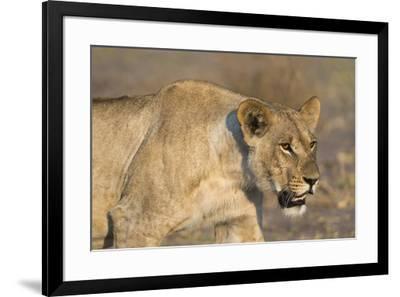A lioness (Panthera leo) walking, Savuti marsh, Chobe National Park, Botswana, Africa-Sergio Pitamitz-Framed Photographic Print
